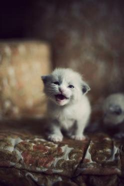 Meow: Kitty Cats, Pet, Baby Kittens, Kitty Kitty, Cat S, Baby Cats, White Kittens