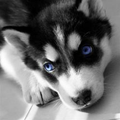 Miniature Siberian Huskies! this ones for you Jazzy!: Miniature Siberian, Klee When, Miniature Husky Puppies, Siberian Husky, Beautiful Eyes, Blue Eyes, Siberian Huskies, Mini Huskies