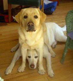 MOM...he's sitting on me again!! this reminds me of moosie and remy! haha   ...........click here to find out more     http://googydog.com: Doggie, Funny Dogs, Yellow Labs, Pup, Funny Animal, Funny Gif, Yellow Labrador, Furry Friends, Funnie