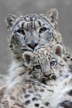 Mother and Son ~ Snow Leopards by Johannes Waplehorst: Wild Animal, Wildcats, Big Cats, Beautiful Animal, Snow Leopards, Frrrantic, Wild Cats, Bigcat, Cats Big