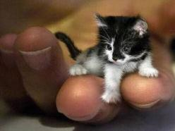 Mr. Peebles may look like a kitten, but he is actually 2-year-old. The tiny cat got its size from a genetic defect that stunts growth. At just 6.1-inch (15.5 cm) high and 19.2-inch (49 cm) long, he currently holds certification from The Guinness Book of W