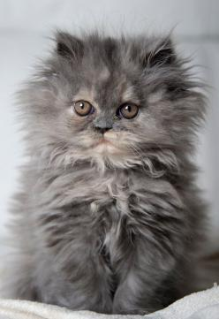 My reaction when I actually do comb my hair but my co-worker stil asking this-do you comb your hair?: Kitty Cats, Grey Kitten, Persian Kitten, Cat S, Persian Cat, Fluffy Cat