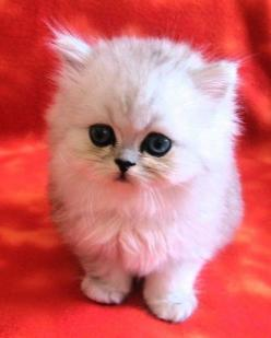 Napoleon. The amazingly cute and small cat is a small cat breed with small furry body.: Small Cats Breeds, Cats 9, Adorable Cats ️, Cats That Stay Small, Napoleon Cats, Animals Napoleon, Small Cat Breeds, Animals Cats, Cute Cats Breeds