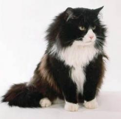 Norwegian Forest Cat - big, sweet, adorable (yup, have one of those too! looks just like this one): Ragdoll Cat, Kitty Cat, Norwegian Forest Cat, Black Cats, Ragdoll Kittens Cats, White Cat