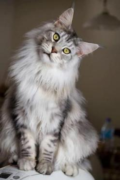 Norwegian Forest Cat: Cats Cats, Maine Coons, Beautiful Cat, Kitty Cat, Maine Coon Cat, Main Coon, Coon Cats, Mainecoon