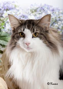 Norwegian Forest Cat. Wow! this is the largest domestic meow.  .  .2nd is the Maine Coon: Kitty Cats, Norwegian Forest Cat, Cats 1 8, Cats Cats Cats, Pussy Cats, Cat S, Nikitas Cats