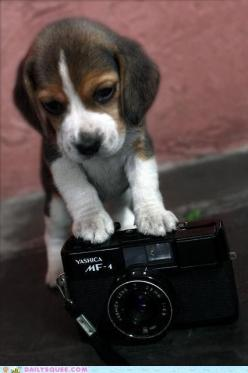 Oh you gonna take a picture of me huh!? Nuh-huh! Im gonna take a picture of you first! Dang it the cameras off.....: Beagle Puppy, Favorite Things, Beagle Puppies, Pet, Camera, Puppys, Baby Beagle, Animal