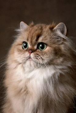 Persian cats are tremendously responsive and become a constant source of joy and delight to their owners. --- Cat Fanciers' Association: Kitty Cats, Beautiful Cats, Golden Persian, Kitty Kitty, Persian Cats, Cat S, Himalayan Cat, Persians Cat, Fluffy