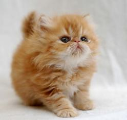 Persian kitten. this is the cutest, sweetest kitten I've ever seen. ♥: Cute Animal, Kitty Cat, Cute Kitten, Persian Kitten, Kitty Kitty, Persian Cat, Adorable Animal