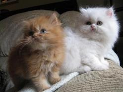 persian kittens san diego | Cute Cats Pictures: Cats Pictures, Cute Cats, Persian Kitten, Cats Someday, Cats And Kittens, Kittens San, Kittens Cats, Persian Cat, Cats Kittens