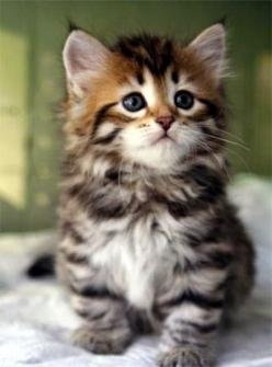 Pet's World: Top 5 Cute Cat Breeds For Families: Kitty Cat, Cute Cat, Kitty Kitty, Kittens Cat, Cats Kittens, Adorable Animal