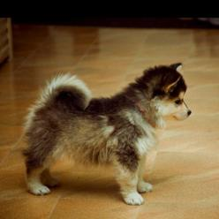 Pomsky- pomerian+husky.. Is this real? I want one.: Pomeranian Husky, Pomsky Pomeranian, Small Dogs, Adorable Animals, Small Places, Puppys, Animalss, Future Pet, Baby Animals