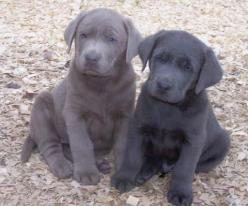 Puppies! Silver and Charcoal labs: Obsession Silver, Labs Arkansas, Puppy, Labs Can T, Charcoal Labs, Silver Labs, Lovely Labs, Charcoal Lab Puppies