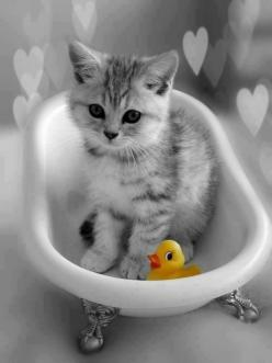rubber ducky, I'm awfully fond of you... / color splash art #yellow / bathtime for kitty: Cats Cats, Kitty Cats, Color Splash, Splash Cats, Kitty Kitty, Cat S, Cats Kittens, Bath Time, Animal