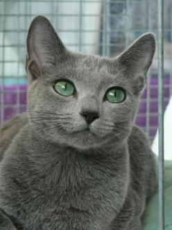Russian Blue Cat History Click the picture to read. I want one of these too!!! So pretty....just need another good coffee-themed name!: Russian Blue Cats, Kitty Cats, Grey Cat, Beautiful Cats, Russian Blues, Crazy Cat, Green Eyes, Blue Beautiful, Blue Rus