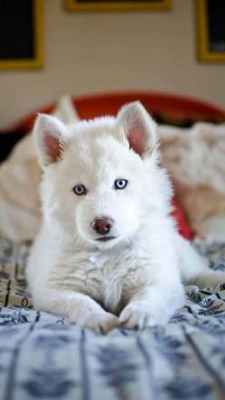 scarlettjane22:Found on doggyloot.com via Lauren King Whoever said you can't buy happiness forgot about the love of bright-eyed puppies. ~Charlotte (PixieWinksFairyWhispers): Siberian Husky, White Husky, Beautiful Eyes, Blue Eyes, Siberian Huskies