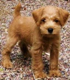 Schnoodle pup. Adorable. WC needs a bigger brother.: Therapy Dogs, Hypoallergenic Dog, Apricot Schnoodle, Schnoodle Dog, Poodle Mix, Schnoodle Puppy