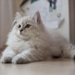 Siberian Cat - http://catbreedsinformation.com/siberian-cat/ For people that are looking for a large sized, long coated cat breed, this is the cat for them. The Siberian Cat is a popular cat breed originally from Russia.This cat breed may also be known as