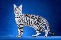 silver-bengal-cat, I think this is actually a painting of this breed, but my next cat for sure!: Bengal Cats, Kitty Cat, Bengal Kitty, Google Search, Cats Bengals Mau Savannah, Bengal Kittens, Silver Bengal, Savannah Cat
