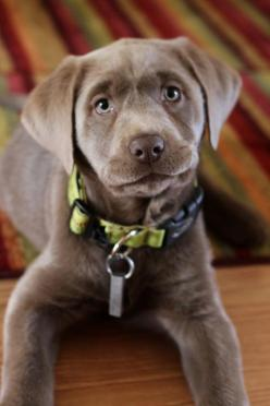 Silver lab: Doggie, Labrador Retriever, Cute Puppies, Adorable Animals, Chocolate Labs, Lab Beautiful, Silver Labs, Silver Labrador