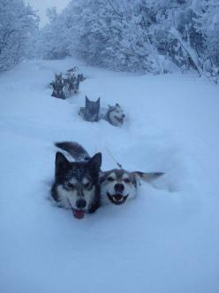 Sled dogs breaking trail over Eureka Dome,  Ogilvie Mountains, Yukon, Canada: Sled Dogs, Happy Huskies, Siberian Husky, Alaskan Husky, Happy Face, Siberian Huskies, Happy Dogs, Husky Dogs