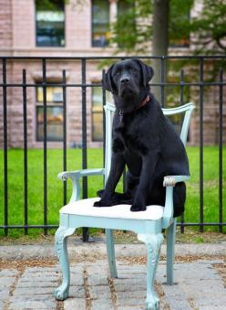 "Sneak Peek: Best of Dogs. ""Winston looking regal in front of his New York City home."" #sneakpeek #dogs: Black Labrador Retriever, Dogs Winston, Black Doggie, Pet Dogs, Black Labradors, English Lab, Labrador Retrievers, Black Labs"