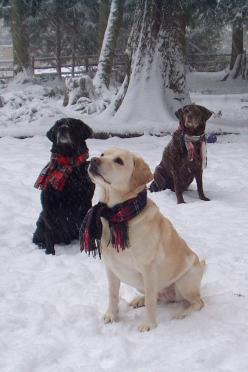 snow dogs!  Yellow, Black and Chocolate Labs: Labrador Retriever, Christmas Cards, Dog Christmas Card, Snow Dogs, Lab S, Black Labs