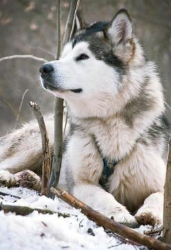 Someday, I'll have one of my own... :) Until that day comes, I'll keep praying.: Siberian Husky, Malamute, Siberian Huskies, Husky S, Husky Dogs, Beautiful Dogs, Animal