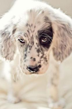 "Sparrow, an 8-week-old Ryman English setter, may be deaf, but that doesn't slow her down in the field, says owner Danica Barreau, who writes this is one pup that's ""totally ready to take over the world."" (Ok, so it is a setter. So what? It"