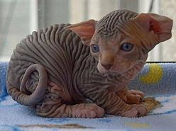 Sphynx kitten. somewhat strange looking but completely adorable.: Sphinx Kitten, Sphynx Cats, Hairless Cats, Kitty Kitty, Sphinx Cat, Baby Sphinx
