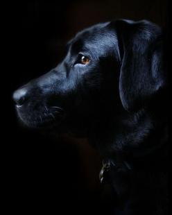 Stunning picture of a black lab.....might have to try this one with Mady: Black Labs Dogs, Black Labrador Retriever, Black Labradors, Black Dogs, Dog Pictures, Labrador S, Labrador Dogs
