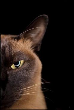Stupid human... You will regret the day you bought me cheap cat food!: Cats Cats, Kitty Cats, Siamese Cats, Cat Eyes, Kitty Kitty, Cat S, Cat Lady