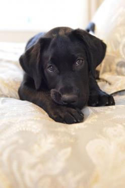 Sweet Southern Charm: Black Lab Puppy, Labrador S, Black Lab Puppies, Black Labrador Puppies, Labrador Retrievers, Black Labs, Animal