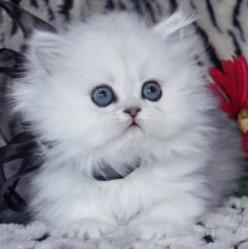 Teacup Persian...Want One The Prettiest Cutest Of All❤⭐❤: Animals Cat Kittens, Kitty Cats, Persian Kittens, Persian Cats, Kitty S, Kittens Cats, Cats Kittens, Teacup Persian Kitten, Kittens Cutestanimals