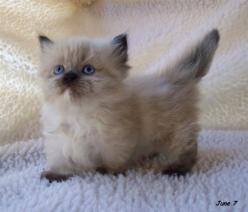 "There's an entire breed of dwarf cats with abnormally short legs. They are called ""Munchkin Cats."": Ragdoll Cat, Kitty Cats, Munchkin Kitten, Kitty Kitty, Kitty S, Munchkin Cats, Cat S, Adorable Animal, Munchkin Kitty"