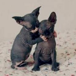 These cats are so ugly their cute. How can that be possible?: Sphinx Kitten, Hairless Kittens, Sphinx Cats, Sphynx Cats, Kitty Cat, Hairless Cats, Sphynx Kittens, Sphynx Kitties, Hairlesscats