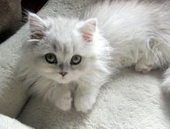 This cutie pie won me over all ready: White Persian Cat, Kitty Cats, Kitty Kitty, Cats Kittens, Adorable Animal, Kittycat, White Cat
