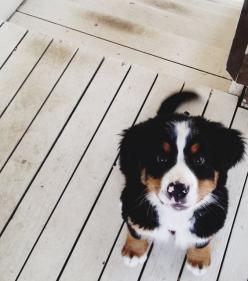 This is Belen, my good friend's Bernese Mountain Dog. She is a tomboy who loves to wrestle, take naps, and lick your whole entire face. One of my favorite dogs, ever.: Doggie, Face, Bernese Mountain Dogs, Puppy Love, Pet, Box, Animal, Furry Friends