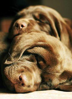 This makes me want to say: wook at the fwuffy wuffy wittle babies. i just want to smoosh my face into your wittle fwuffy head.: Sweet Chocolates, Sweet Faces, Beautiful Animals, Puppy Sleep, Sleepy Puppies, Shock Labs, Brown Labrador, Labrador Puppies, Sl