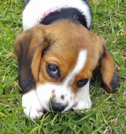 those little beagles look like puppies their whole lives (though I think this one IS a puppy!)  stinky cute.: Beagle Puppy, Puppy Dogs, Adorable Animals, Beagle Puppies, Puppy Dog Eyes, Beagle Mix, Dogs Beagles, Baby Beagles, Puppy Eyes