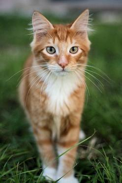 tichat200712-01 by edhelwen, via Flickr. Beautiful cat. The Incensewoman: Cats Cats, Beautiful Cats, Orange Cats, Jungle British, Cat S, Ginger Cats, Cats Kittens, Cat Lady