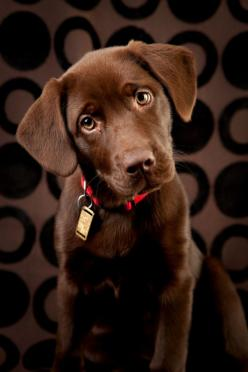 Train your dog to be a Diabetic Alert Dog that can help you better manage the lows and highs of your blood sugar - and ensure success in the management of your diabetes.  Yes please!!  I'll take two!: Labrador Chocolate Puppy, Alert Dog, Chocolate Lab