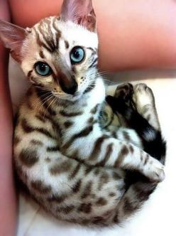 What a unique little kitten.  So cute!: Kitty Cat, Beautiful Cats, Bengal Cat, Pretty Cat, Kitty Kitty, Pretty Kitty, Gorgeous Cat, Adorable Animal