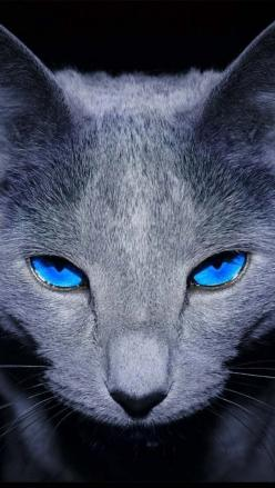 Whisper/ash Rank: warrior/loner Clan: mountain clan Pelt: Grey, with dark grey boots, and ear tips: Kitty Cats, Beautiful Cat, Grey Cat, Blue Cats, Cat Eyes, Gray Cat, Blue Eyes, Russian Blue Cat, Animal