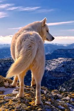 white wolf dat ass: Wild Animal, Beautiful Animal, Siberian Husky, Animal Kingdom, Rafael Tamajón, White Wolf, Siberian Huskies, White Wolves