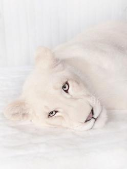 Who doesn't want one of these if it were trained, not unsure on whether it wants to swallow you whole or not, and if it cuddled like a small house cat?: Wild Cat, Big Cat, Beautiful Animal, White Lion, Whitelion, Albino Animal, White Cat