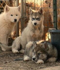 Wolf-Dog Puppies. So friggin cute. I want one. Ilike the far one on the right. I want a white wolf dog.: Wolf Dogs, Wolfdog, Wolf Puppies, Wolf Cubs, Wolf Hybrid, Wolf Pups, Puppy, Dog Cub