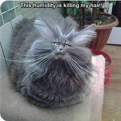 Bad Hair Day Cat cute animals cat cats adorable animal kittens pets kitten funny pictures funny animals funny cats: Funny Animals, Cats, Funny Cat, Hairs, Pet, Bad Hair, Funny Stuff, Funnies, Kitty