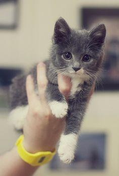 Grey fur, white paws... A small charmer:): Grey Cat, Gray Kitten, Kitty Cats, Animals, Grey Kitten, Pet, Adorable Kitten, Kittens