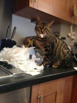 It was like this when I got here! #Funny #Cats: Animals, Funny Cats, Bengal Cat, Pets, Funny Stuff, Photo